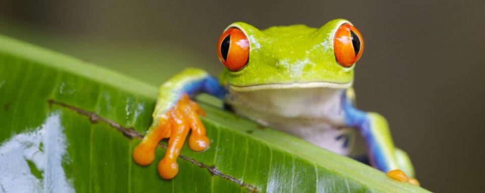 Costa Rica_Reise_bunter Frosch_Blatt