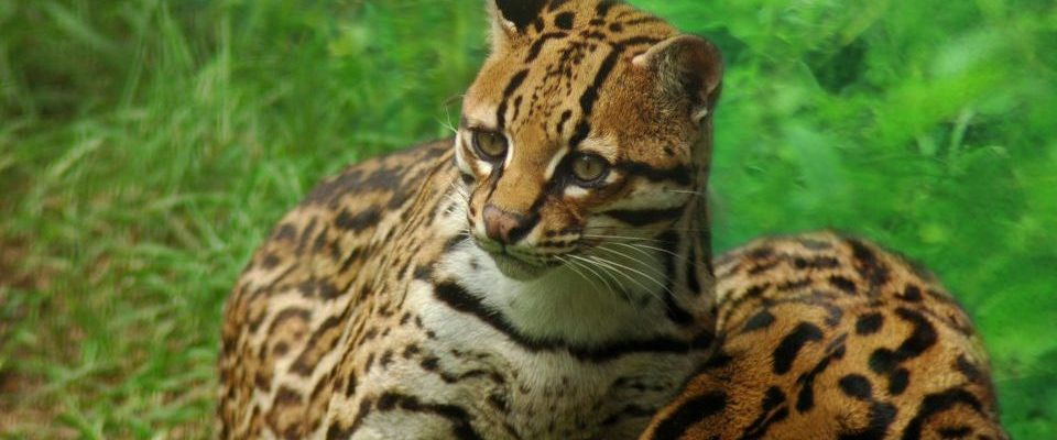 Ecuador_Amazonas_junger Jaguar_Reisen