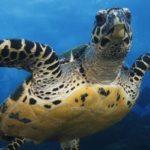 Ecuador_Galapagos_Schildkroete_Unterwasser_Reisen