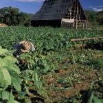 Tabakbauer Erlebnis Kuba Privatrundreise