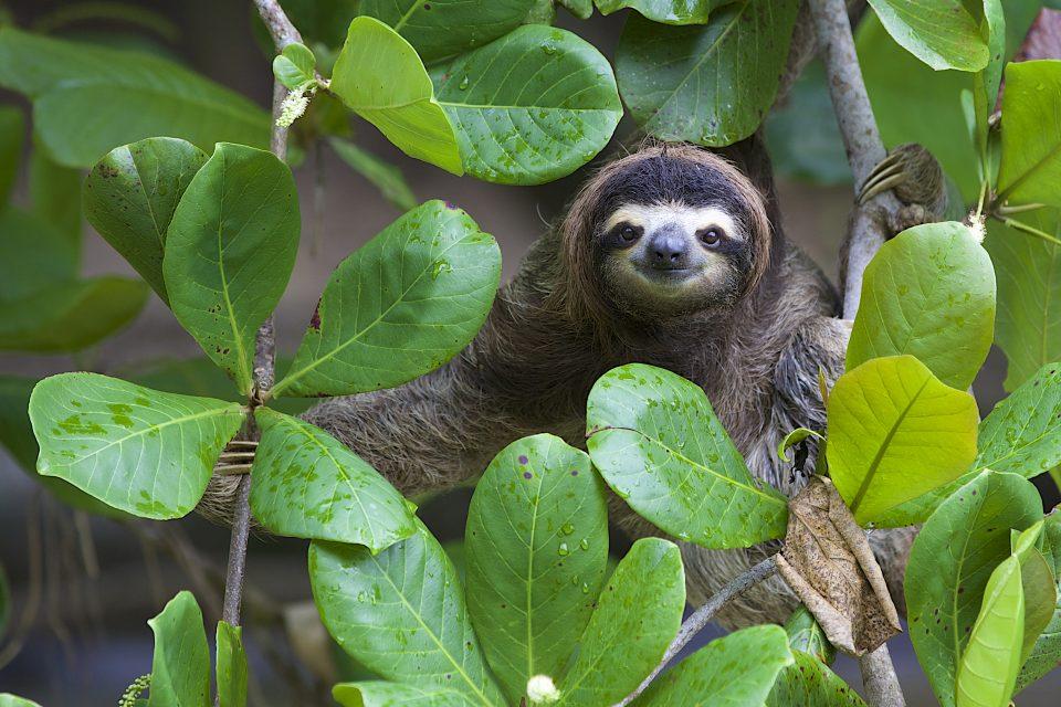 Costa Rica Faultier Wald Reisen