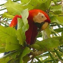 Costa_Rica_Papagei_Latin_America_Tours