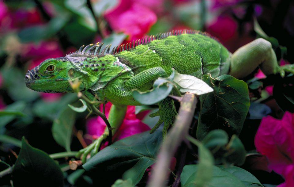 Belize, Guana, Dschungel, Reisen