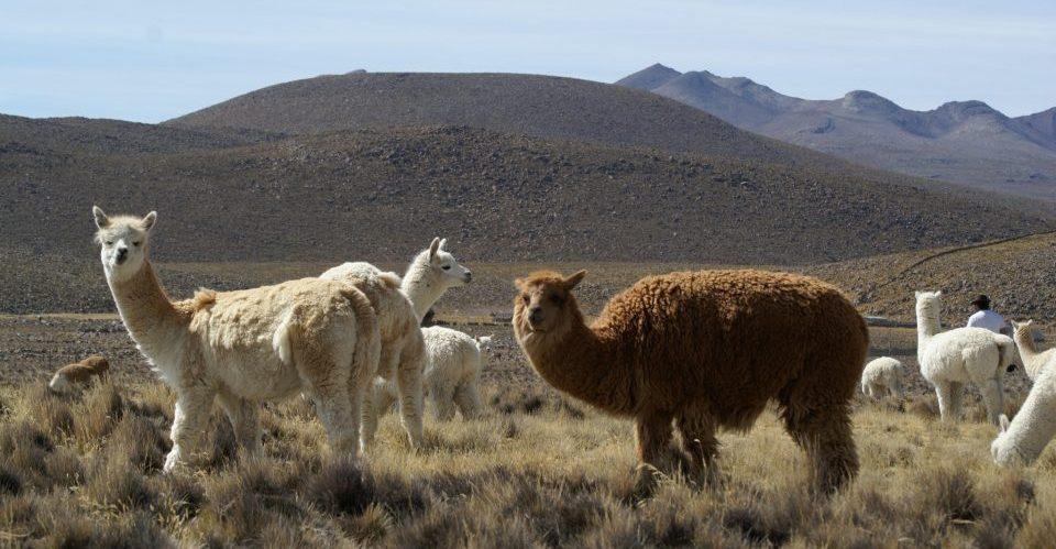 Peru, weisse und braune Alpacas, Latin America Tours, Reisen