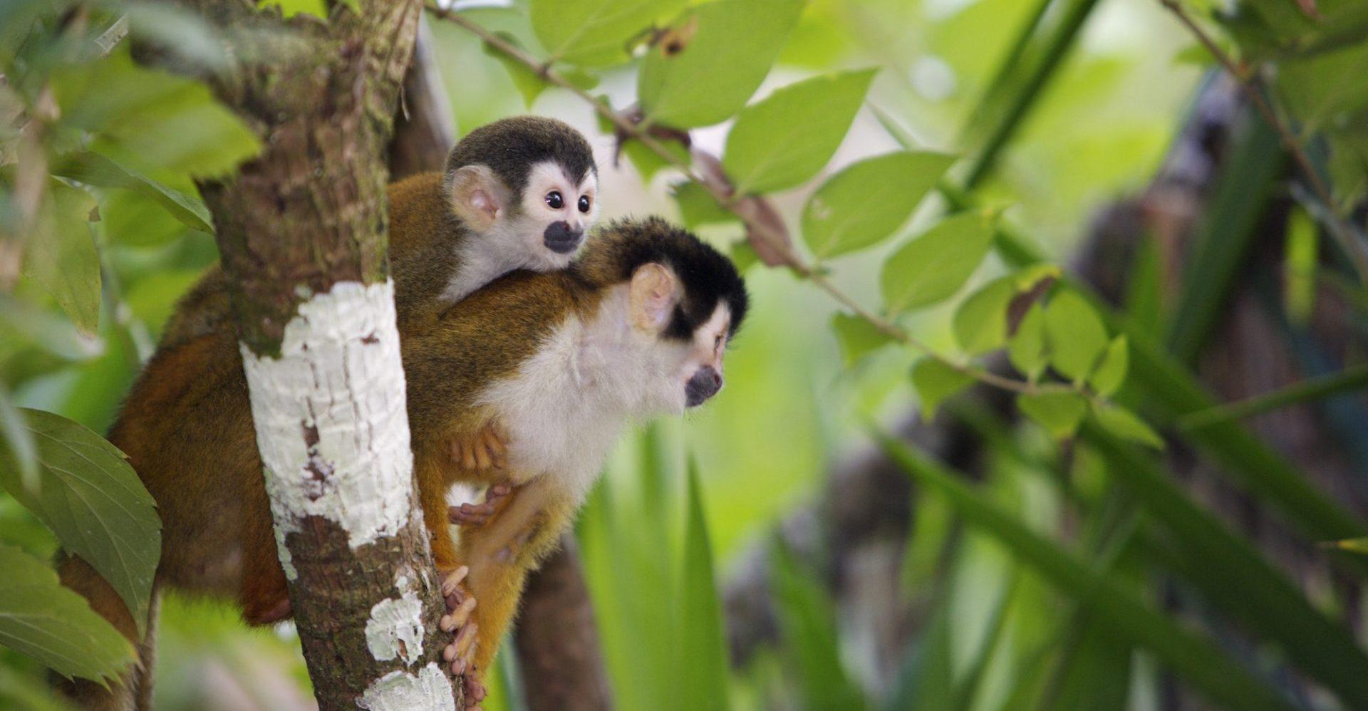 Costa Rica, Totenkopfäffchen, Affen im Dschungel, Latin America Tours, Reisen