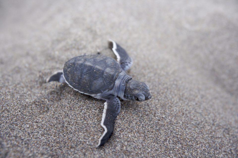 Costa Rica, kleine Schildkröte am Strand, Latin America Tours, Reisen