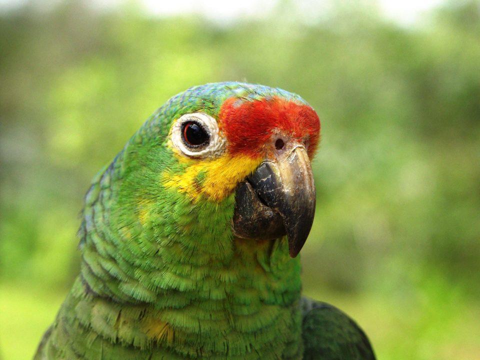 Nicaragua, grüner Papagei, Latin America Tours, Reisen