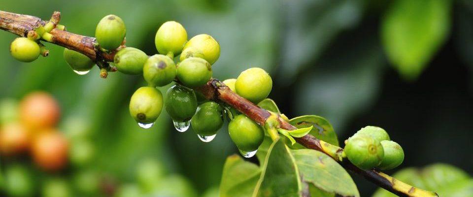 Kolumbien, Kaffeepflanze, Kaffeezone, Latin America Tours, Reisen