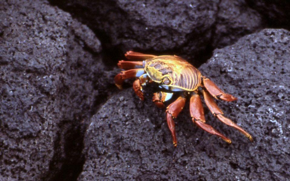 Ecuador, Galapagos, rote Krabbe auf Fels, Latin America Tours, Reisen