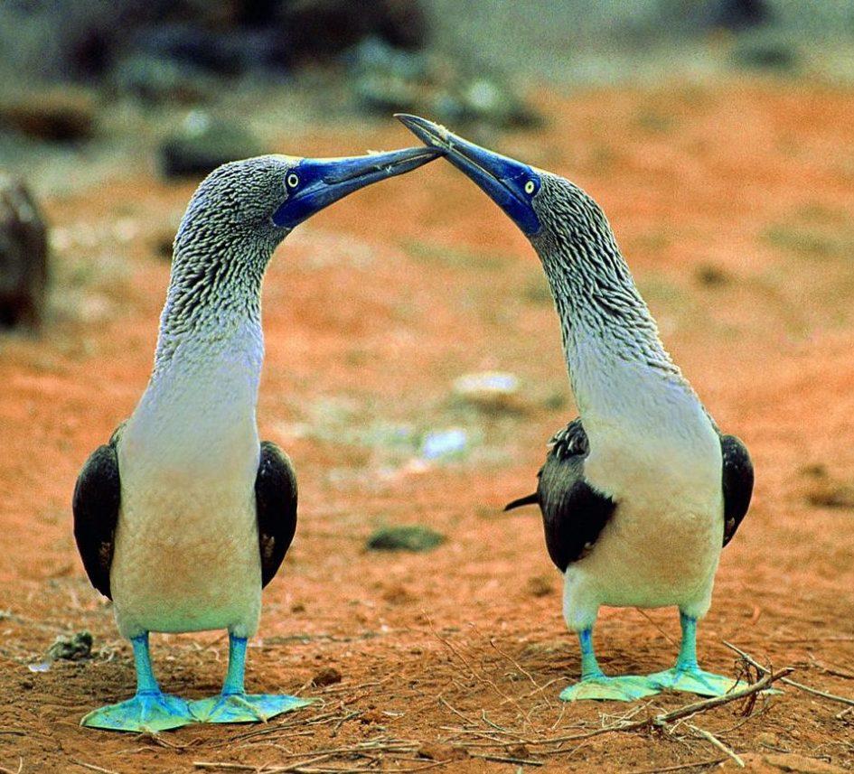 Ecuador, Galapagos_zwei Fregatte Vögel, Latin America Tours, Reisen