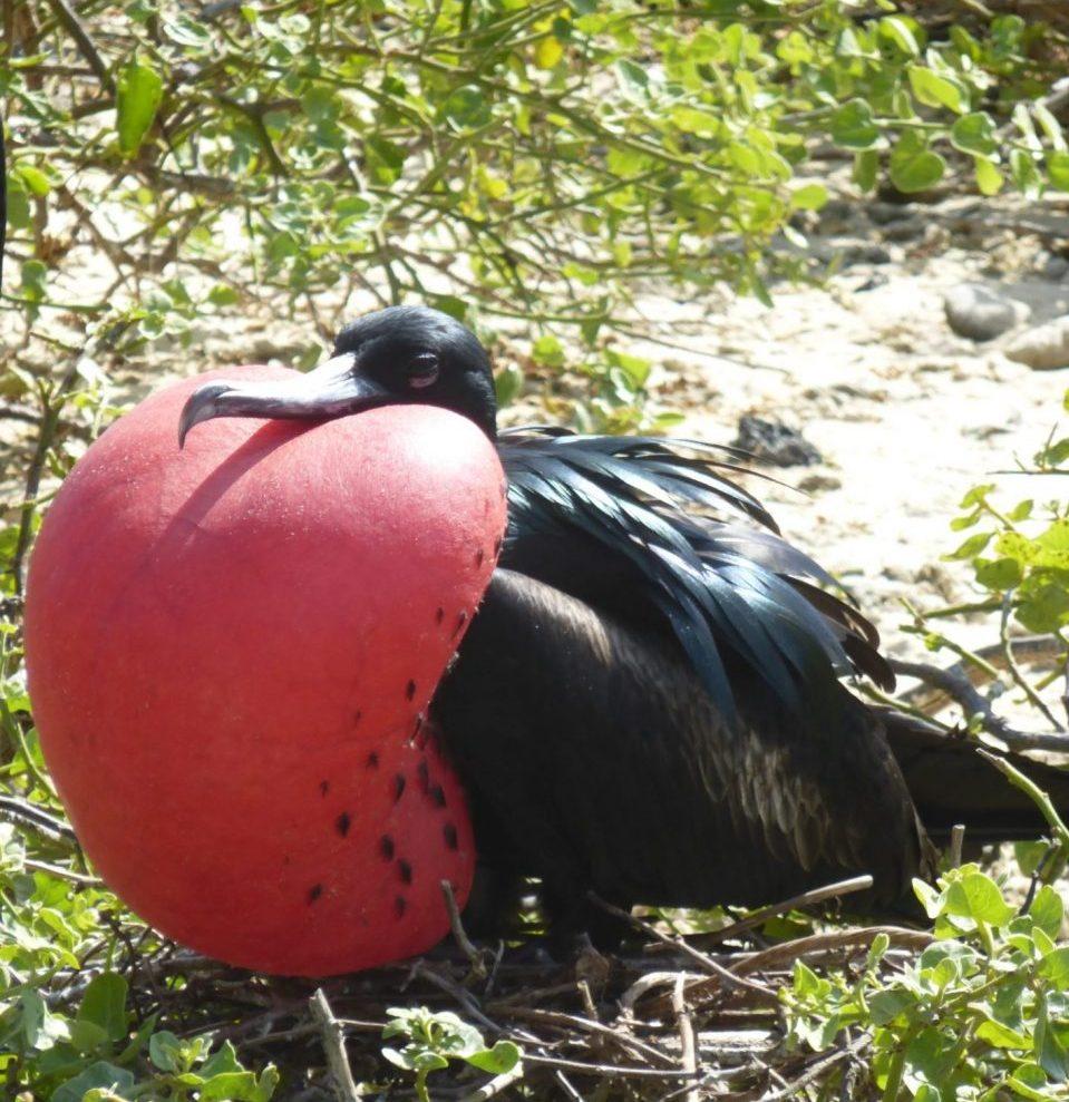 Ecuador, Galapagos, Vogel bei der Balz, Latin America Tours, Reisen