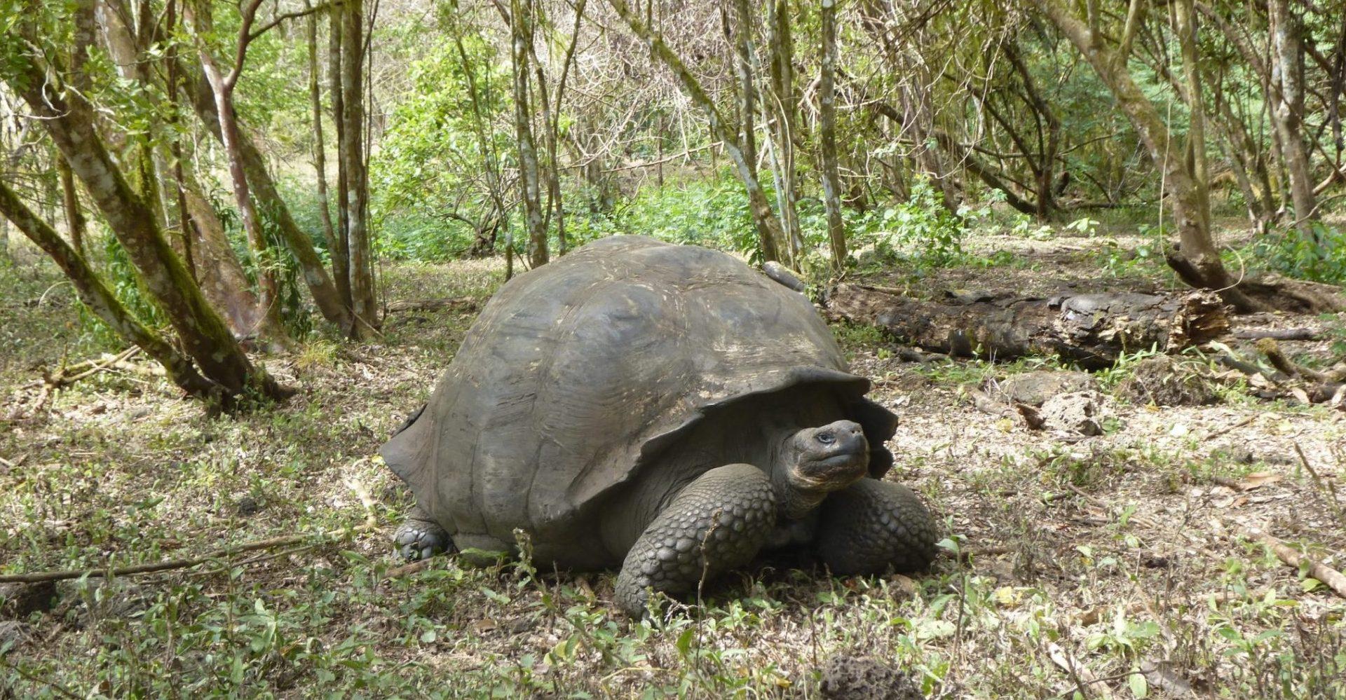 Ecuador, Galapagos, Riesenschildkröte, Latin America Tours, Reisen