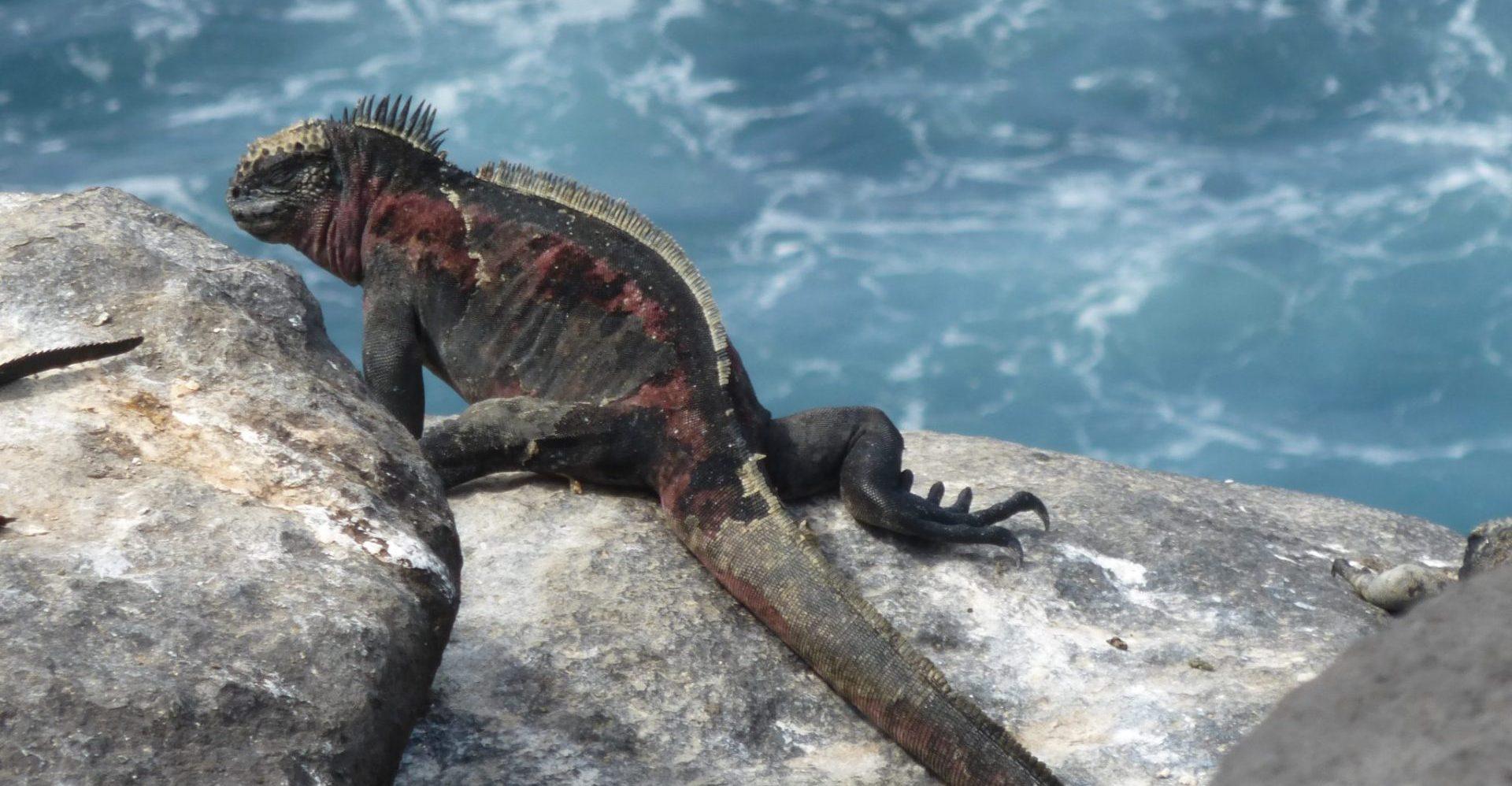 Ecuador, Galapagos, Echse auf Felsen, Latin America Tours, Reisen