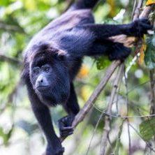Belize, Brüllaffe, Affe im Urwald, Latin America Tours, Reisen