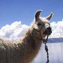 Alpaca, Indio, Peru, Bolivien, RundreiseMachu Picchu, Peru, Rundreise, Latin America Tours, Reisen